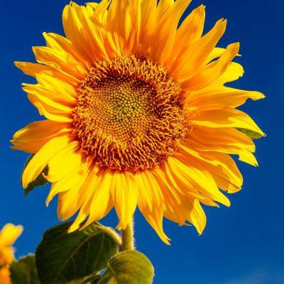 cc zonnebloem